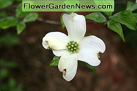 Cornus florida (native dogwood)