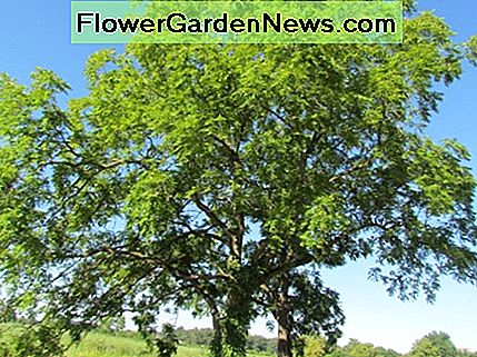 Toxiciteit van Black Walnut Trees in Ohio