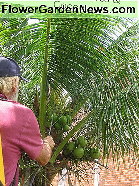 Spraying Dwarf Coconut With Natural Pesticide
