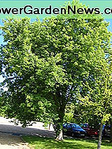 Silver Maple: Hinder Tree of Great voor Landscaping?