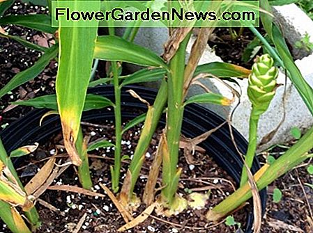 My ginger plant was in bloom just before I harvested it. You can let it go to flower, but since I grow it for the rhizomes and not the flowers, it didn't bother me to get rid of the flower.