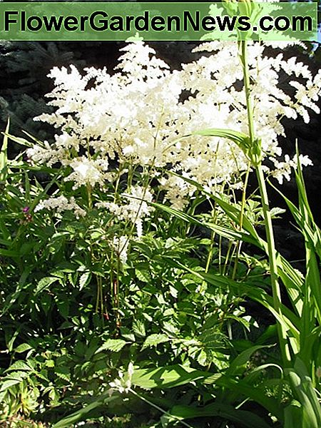 White astilbe in hot sunny border beside sidewalk.