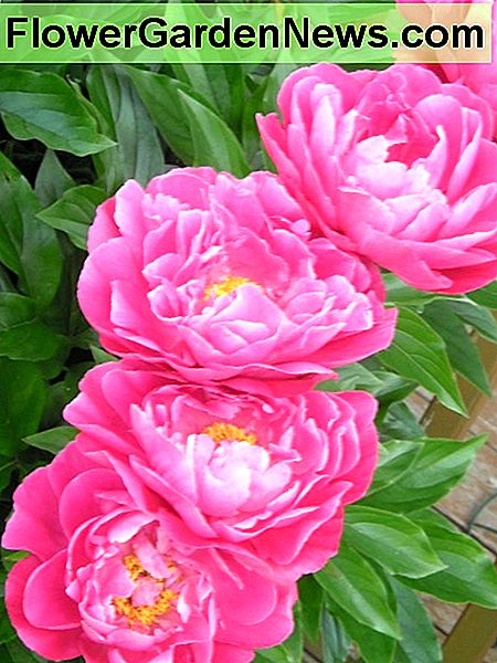 Peonies have huge, showy flowers in white, pink or red. They are very fragrant.