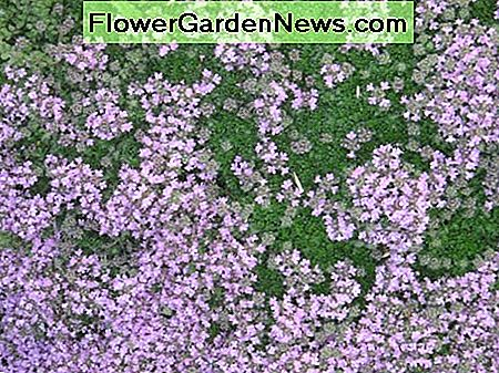 Creeping thyme flowers in July to make a colourful carpet of ground cover.