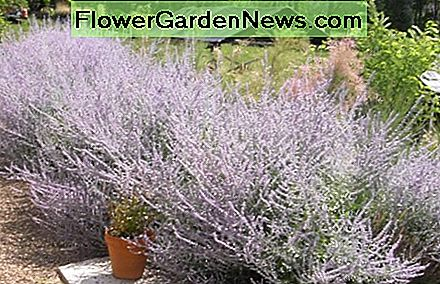 Russian Lavender grows waist-high when in full bloom, and makes a beautiful fragrant hedge to screen sight lines around a patio or beside a path.