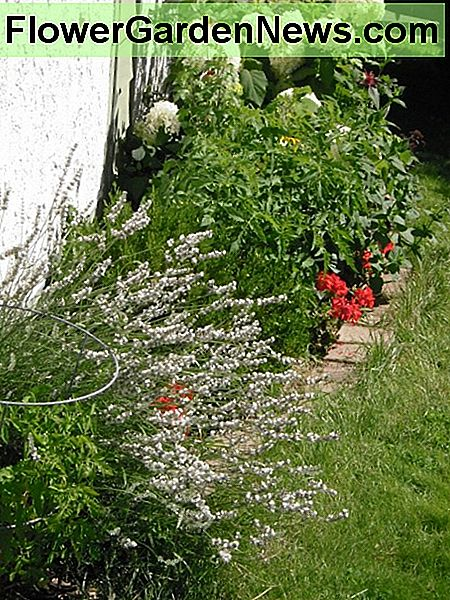 White lavender, red geraniums, white hydrangeas beside ripening tomatoes in a south-facing border.