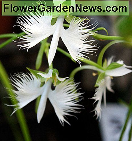 Habenaria radiata - the white egret orchid.