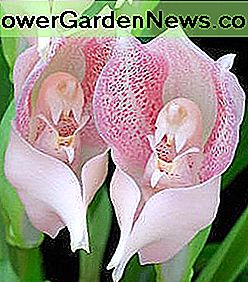 Tulip orchids look like they are cradling babies.