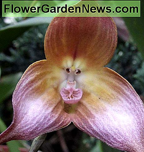 Dracula gigas is another example of an orchid that looks like a monkey.