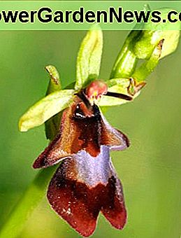 Ophrys insectifera - the fly orchid.
