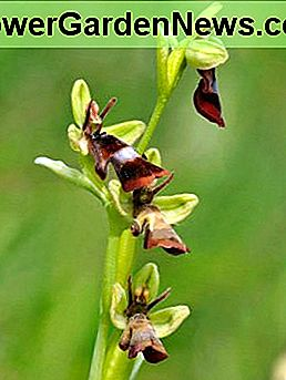 Male insects get very excited when they discover the fly orchid.