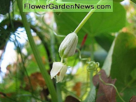 In September the male and female flowers appear. This is a female flower.