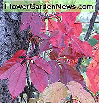 Poison ivy leaves turn red and yellow in autumn. Most mature plants also produce white waxy fruit.