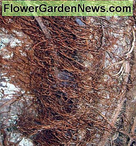 Because the roots contain urushiol, poison ivy can cause contact dermatitis in winter, too.