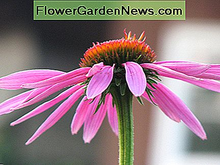 Purple Coneflower—Cuyahoga jco (Flickr.com)