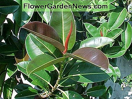 ficus elastica - the rubber plant