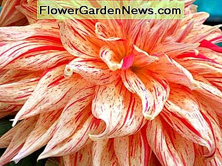 Dahlia flowers - Pictures and How to grow and care for dahlias
