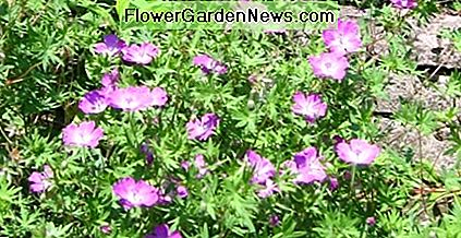 Many types of geraniums are excellent perennial ground covers. These grow and bloom every summer in my yard.