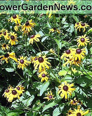 Black-eyed-Susan from my garden, a self-seeding biennial.