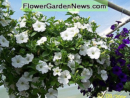 This is another white wave hanging basket. These plants were watered each day with a water soluble fertilizer.