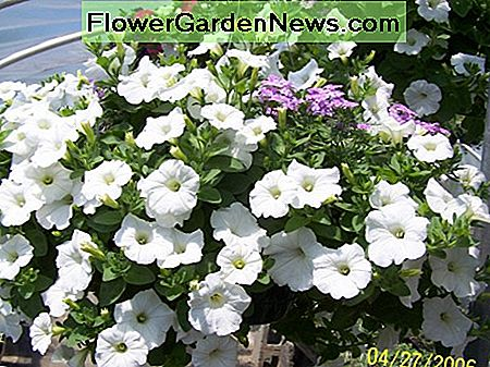 The Gardener's Companion - How to wave petunia's groeien