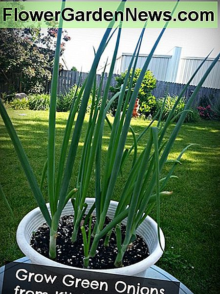 Jak Grow Green Onions z Kitchen Scraps