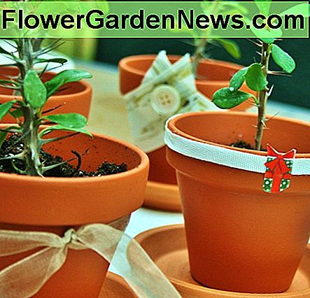 Plain or dressed up, crown of thorn cuttings make attractive decorations & great gifts.