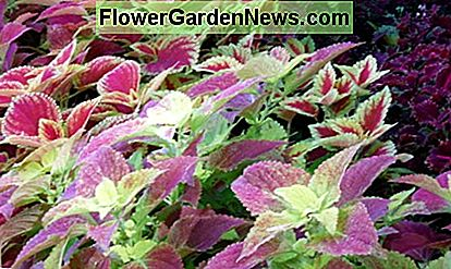 Coleus grows higher than a basketball player in the tropics where humidity is high. In California, where there's low humidity, it will only grow in pots or low to the ground outside.