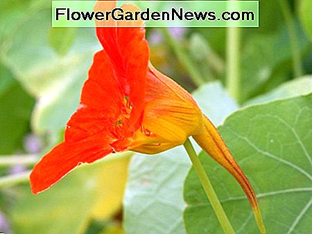 A beautiful garden nasturtium.