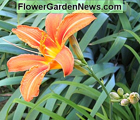 A daylily in full bloom.
