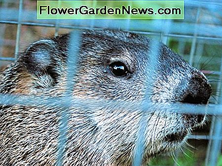 The best groundhog control is removal and prevention.
