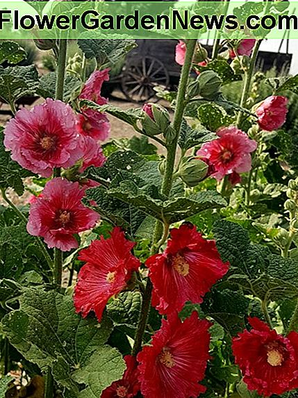 A Facebook friend of ours, Anna Reese of New Mexico, allowed us to use her photograph of this delightful group of hollyhocks.