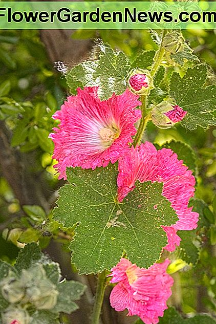 As you can see, the hollyhocks are still beautiful, but pests, as usual, have been eating away at the foliage. Rarely will you find photographs of hollyhocks in which the foliage has not been affected.