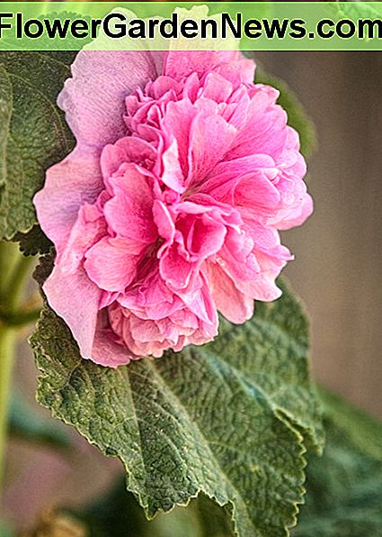 Our neighborhood friends, Joseph and Eileen Lagarde here in New Mexico grew these gorgeous double hollyhocks and were nice enough to let us photograph them.