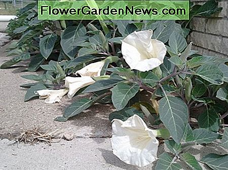 Datura spreads more laterally than vertically. Space out plants accordingly.