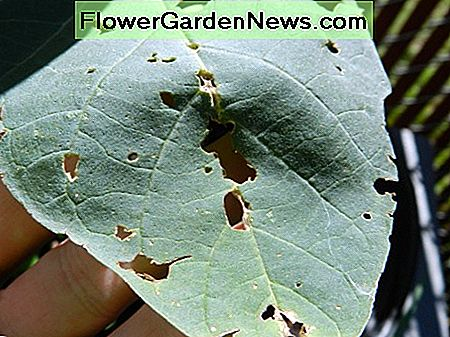Pest damage on a datura metel leaf.
