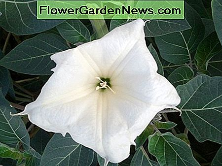 Datura Moonflowers wachsen