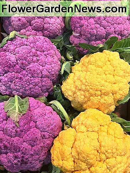 Orange and Purple Cauliflowers