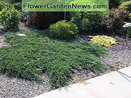 Creeping Juniper Ground Cover: Arten, Pflege und Vermehrung