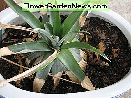 Here is a pineapple plant that is starting to grow new leaves. If I lifted up the plant, you would see roots growing! The roots take in the water and the leaves gather energy from the sun.
