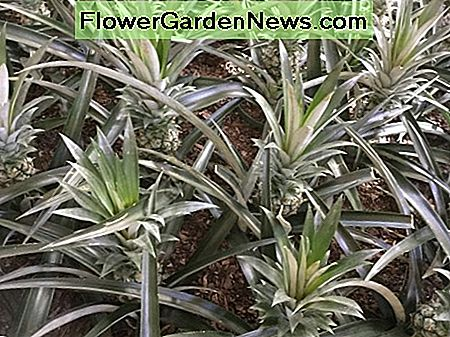 In warm climates, you can plant pineapples in the garden as attractive bedding plants.