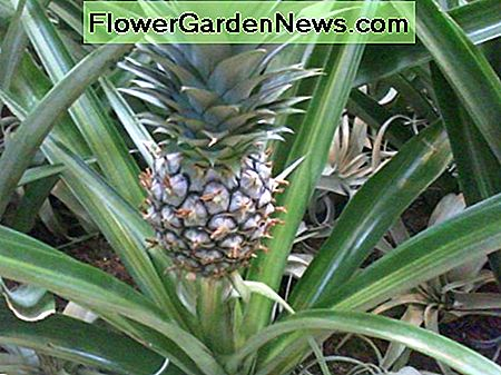 Pineapple plant. You can grow your own!