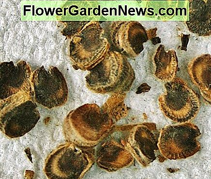 Hollyhock seeds are large & flat. They often stick together in the pod & should be separated to facilitate drying.