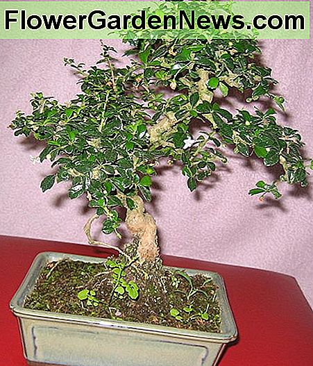 Fukien tea bonsai.