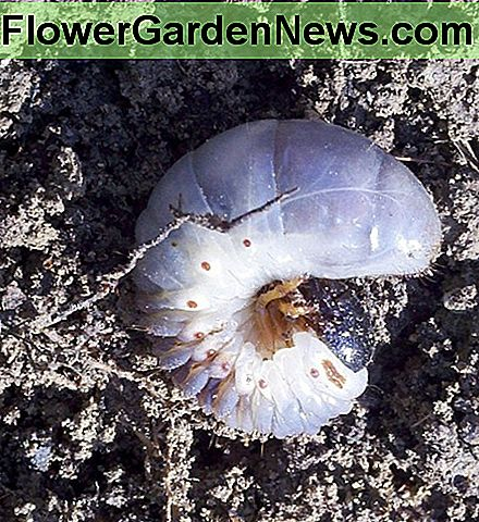 Lawn Grub or White Grub or Grub Worm