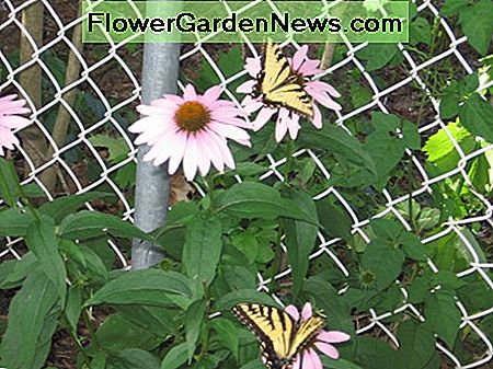 Echinacea/pink coneflower. Butterflies love early echinacea.