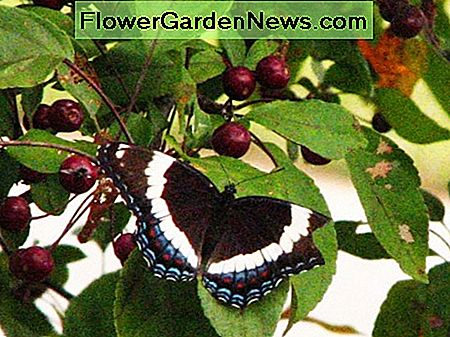 Butterfly on Crabapple Tree