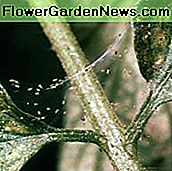 Spider Mite Infestation