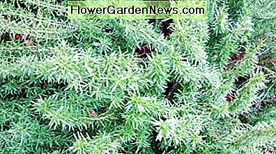 Rosemary is non-toxic, and be grown in containers. Rosemary can also be used for bonsai.