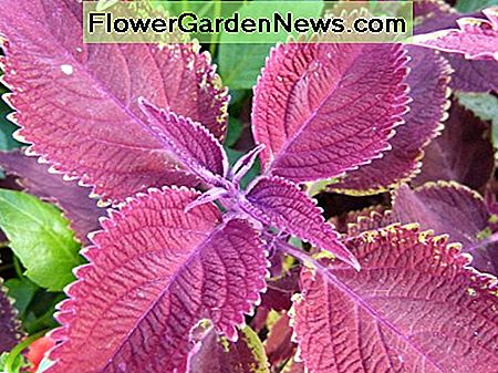 Scarlet coleus is safe for children, but not recommended for pets.